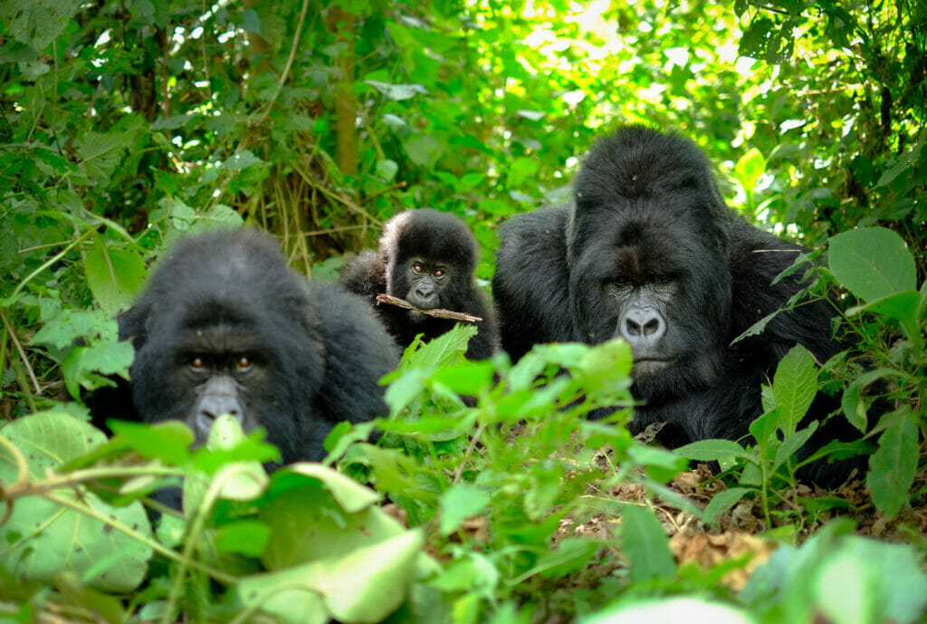 Family of mountain gorillas, incl silverback, baby, and mother looking into camera. The young baby gorilla has a stick between his teeth. MSAFIRI TOURS UGANDA